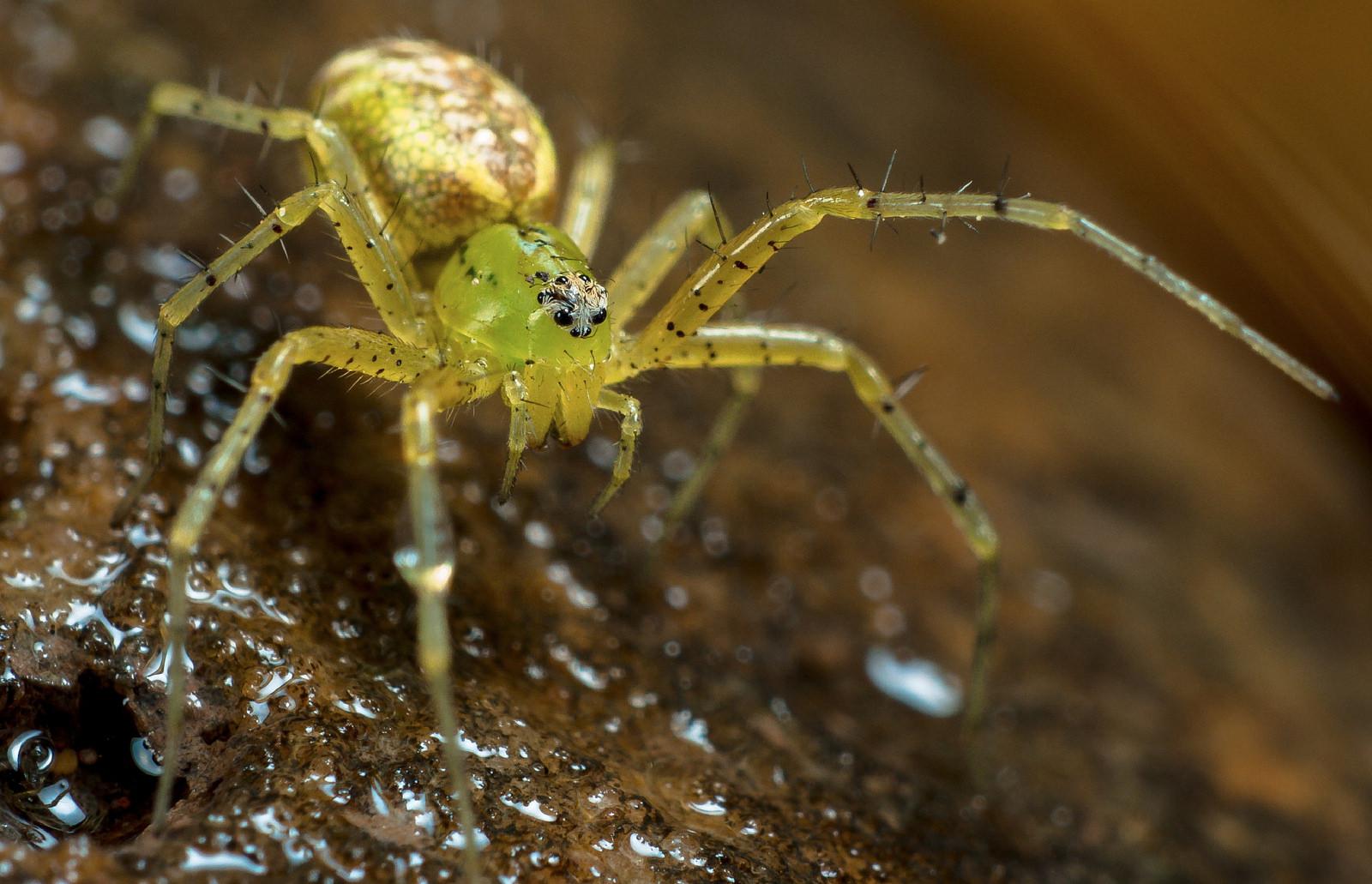 Lynx Spider sydney spider exhibit