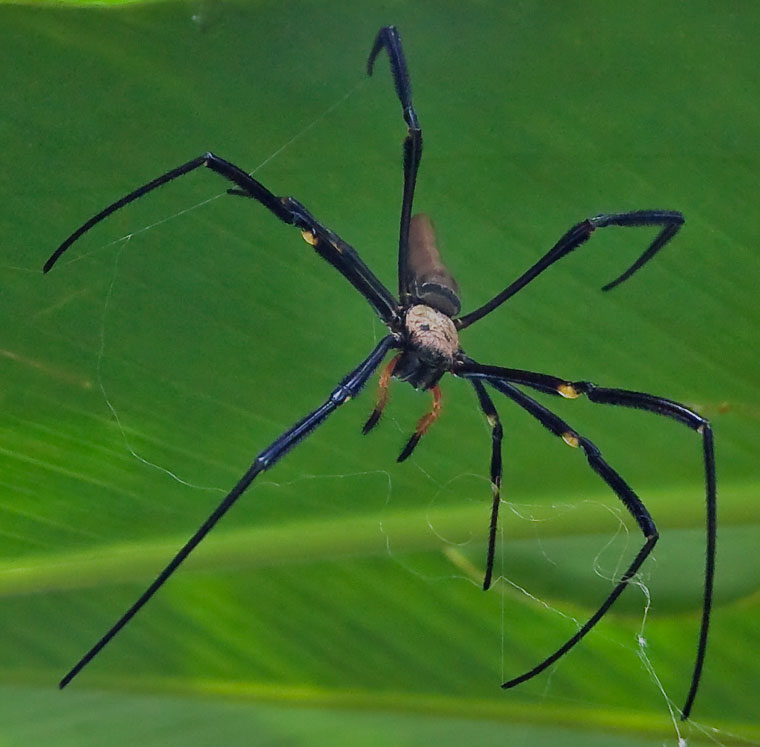 Nephila pilipes Sydney spider exhibit