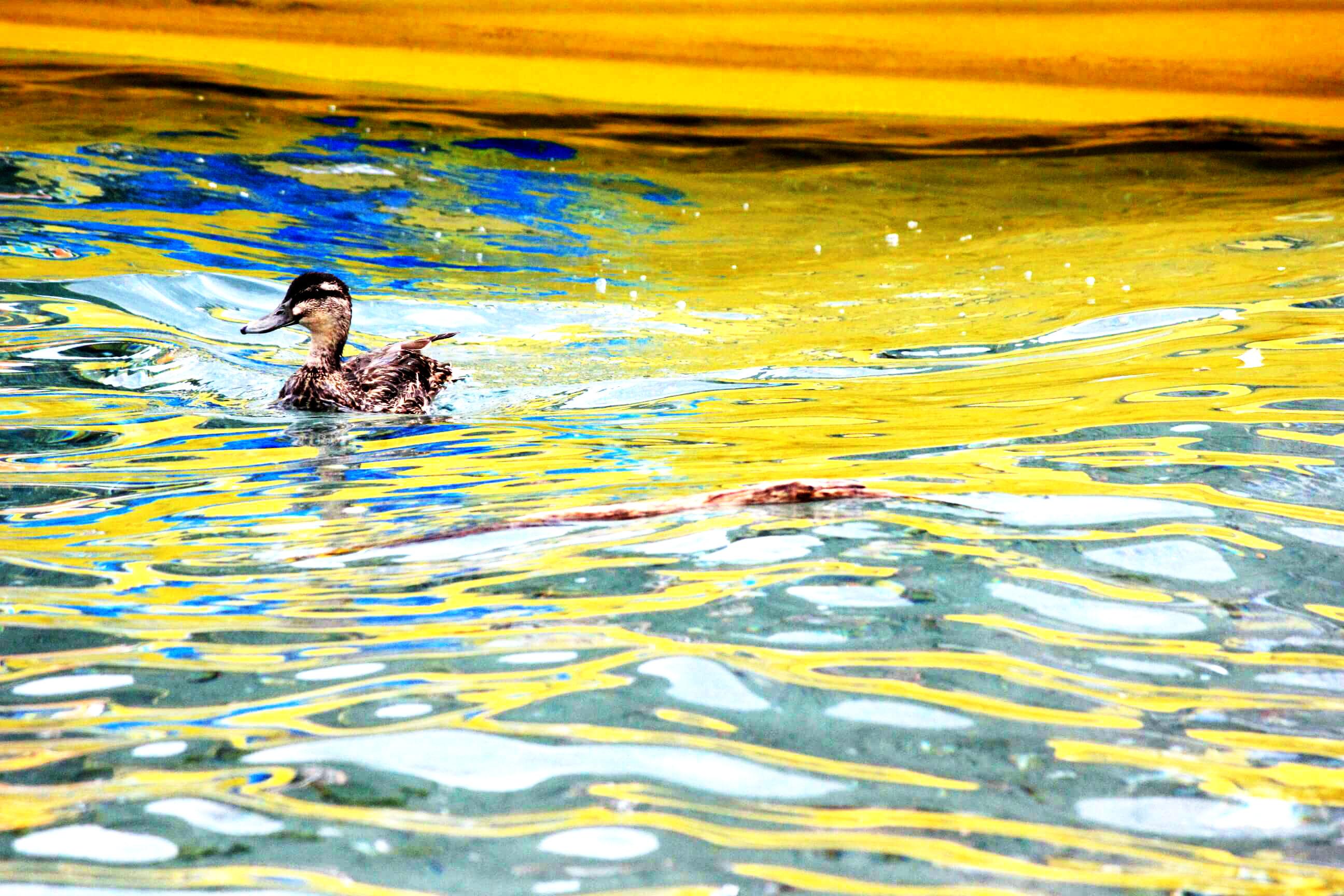 Images for Queenstown Ducks